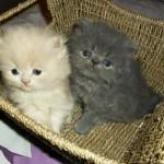 Os filhotes de gatos persas devem ser alimentados 4 vezes ao dia. (Foto: Divulgação)
