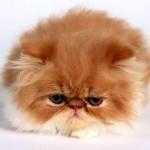 O Garfield é o gato persa mais famoso do cinema. (Foto: Divulgação)