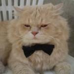 Gato persa fazendo pose de galã. (Foto: Divulgação)