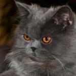 É importante cuidar da higiene do gato persa, limpando os olhos, ouvidos, boca e unhas deles(Foto: Divulgação)