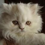 O focinho achatado é outra característica marcante dos gatos persas. (Foto: Divulgação)
