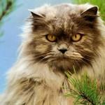 A pequena orelha é outro destaque do gato persa. (Foto: Divulgação)