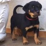 Desde filhote, o rottweiler já possui um perfil de muita autoconfiança. (Foto: Divulgação)