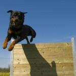 Rottweiler em processo de adestramento. (Foto: Divulgação)