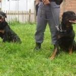 Juntamente com as cães da raça pastor alemão, os rottweilers são muito usados pela polícia. (Foto: Divulgação)