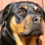 Devido à sua força, o rottweiler já foi usado como cão de tração. (Foto: Divulgação)