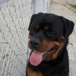 Ele é um ótimo cão de guarda. (Foto: Divulgação)