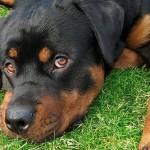 O rottweiler é bastante inteligente e fiel ao dono. (Foto: Divulgação)
