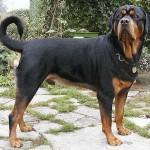 O rottweiler macho mede de 61cm a 68cm. (Foto: Divulgação)