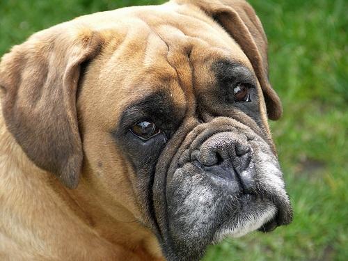 O Boxer Baba Cães da raça ...