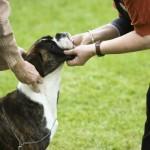 Cães boxer agradam a todos os estilos.(Foto:Divulgação)