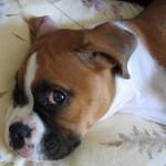 Cães boxer não são exigentes de atenção.(Foto:Divulgação)
