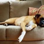 O boxer não é exigente com relação ao espaço.(Foto:Divulgação)