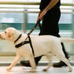 A maioria dos cães-guias são labradores. (Foto: divulgação)