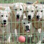Os cães são cheios de energia e adoram brincar. (Foto: divulgação)