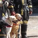 Os labradores são usados em missões de resgate.  (Foto: divulgação)