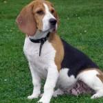 Tranquilo e companheiro, o Beagle é uma boa opção para a família que busca um pet. (Foto:Divulgação)
