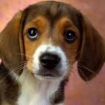Ninguém resiste ao olhar de um beagle. (Foto:Divulgação)