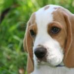 O Beagle é uma raça meiga e companheira. (Foto:Divulgação)