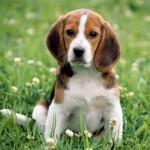 Os beagles são cães obstinados, o que pode dificultar o treinamento. (Foto:Divulgação)