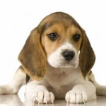 Não são cães agressivos e tão pouco dependentes. (Foto:Divulgação)