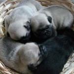 Os filhotes de Pug podem custar mais R$ 1.000. (Foto: Divulgação)