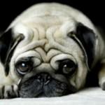 O Pug tem origem asiática e é bastante inteligente, além de fiel e companheiro. (Foto: Divulgação)