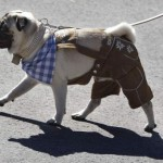 Pug passeando caracterizado com o dono. (Foto: Divulgação)