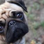 O Pug não gosta muito de agitação. (Foto: Divulgação)