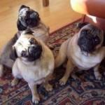 Eles preferem ficar sentados ou deitados dentro de casa, ao invés de sair para passear. (Foto: Divulgação)