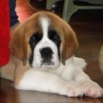 O peso de um cão adulto da raça varia de 70 a 90 kg (Foto: Divulgação)