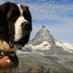 Os cães São Bernardo tiveram origem nos Alpes Suíços (Foto: Divulgação)