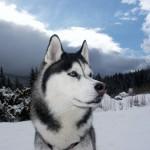 O Husky Siberiano possui uma beleza que chama muito a atenção. (Foto: Divulgação)