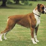 O Boxer costuma pesar cerca de 30 kg. (Foto: Divulgação)