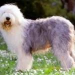 O Sheepdog é um dos cães de raça grande que é criado em apartamentos. (Foto: Divulgação)