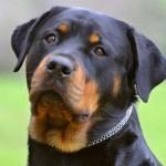 Rottweiler. (Foto: Divulgação)