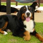 Os cães de raça grande costumam pesar entre 25 kg e 50 kg. (Foto: Divulgação)