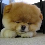 Boo dormindo ou meditando. (Foto:Divulgação)