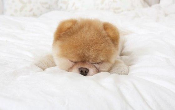 Boo, o cão mais fofo do mundo, tirando uma soneca. (Foto:Divulgação)