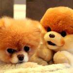 Boo se diferencia dos demais cães da sua raça por causa da tosa. (Foto:Divulgação)