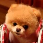 O cão mais fofo do mundo cabe dentro da bolsa. (Foto:Divulgação)