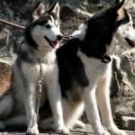 O Husky Siberiano originou-se nas regiões geladas da Sibéria. (Foto: Divulgação)