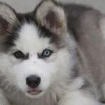 Além da pelagem farta, os olhos do Husky Siberiano também chamam a atenção. (Foto: Divulgação)