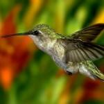 O beija-flor é uma das aves mais admiradas em todo o Brasil. (Foto: Divulgação)