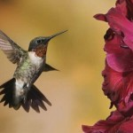 São conhecidas 322 espécies de beija-flor. (Foto: Divulgação)
