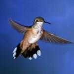 O Beija-flor também é conhecido como colibri. (Foto: Divulgação)