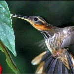 Para levantar voo, o beija-flor não necessita de impulso. Ele apenas bate as asas. (Foto: Divulgação)