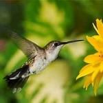 """O beija-flor tem a capacidade de """"parar no ar"""". (Foto: Divulgação)"""