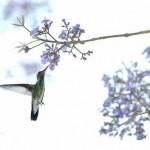O beija-flor é encontrado em todo o continente americano. (Foto: Divulgação)