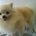 O Lulu da Pomerânia é considerado o cão mais fofo do mundo (Foto: Divulgação)